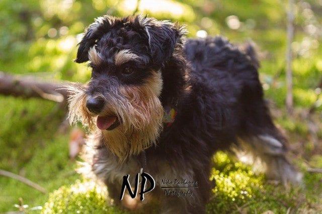Kääpiösnautseri Nanni metsäretkellä © Niko Paulanne - www.nikopaulanne.com (4)