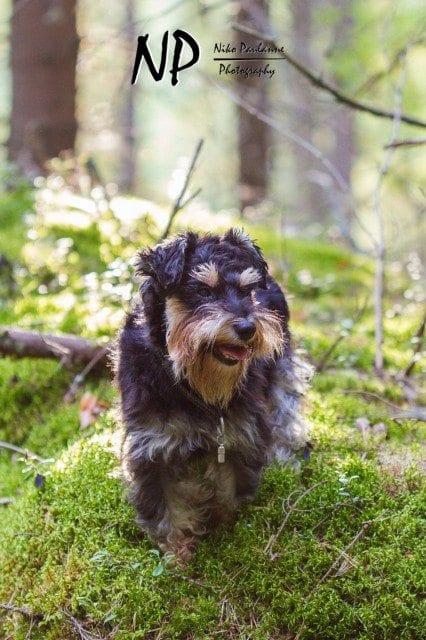 Kääpiösnautseri Nanni metsäretkellä © Niko Paulanne - www.nikopaulanne.com (3)
