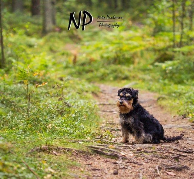 Kääpiösnautseri Nanni metsäretkellä © Niko Paulanne - www.nikopaulanne.com (1)